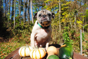 Old Pug with a Fresh Fall Harvest